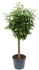 Plantenwinkel.nl Ficus benjamina columnar kamerplant