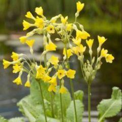Moerings waterplanten Moerassleutelbloem (Primula florindae) moerasplant - 6 stuks