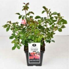 """Plantenwinkel.nl Trosroos (rosa """"Marie Curie""""®) - C5 - 1 stuks"""