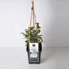 "Plantenwinkel.nl Tros klimroos (rosa ""Sally Holmes""®)"