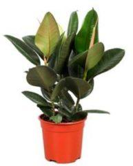Plantenwinkel.nl Ficus robusta S kamerplant