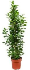 Plantenwinkel.nl Ficus moclame L kamerplant