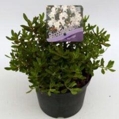 "Plantenwinkel.nl Dwerg rododendron (Rhododendron ""Ptarmigan"") heester - 6 stuks"