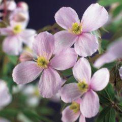 "Plantenwinkel.nl Roze bosrank (Clematis montana ""Rubens"") klimplant - 120 cm - 1 stuks"
