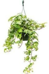 Plantenwinkel.nl Hedera helix kolibri S hangplant