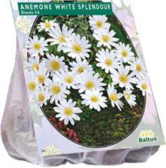 Baltus Anemone (Anemoon) bloembollen - Wit - 2 x 30 stuks