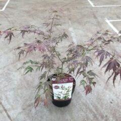"Plantenwinkel.nl Japanse esdoorn (Acer palmatum ""Manyo-no-sato"") heester - 3 stuks"
