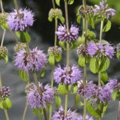 Moerings waterplanten Polei (Mentha pulegium) moerasplant - 6 stuks