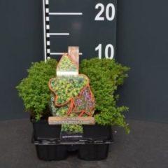 "Plantenwinkel.nl Citroentijm (thymus citriodorus ""Bertram Anderson"") bodembedekker - 4-pack - 1 stuks"