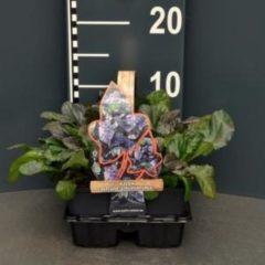 "Plantenwinkel.nl Zenegroen (ajuga reptans ""Atropurpurea"") bodembedekker - 4-pack - 1 stuks"