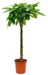 Plantenwinkel.nl Pachira aquatica gevlochten XL Geldboom Kamerplant