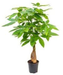 Plantenwinkel.nl Pachira aquatica gevlochten S Geldboom Kamerplant