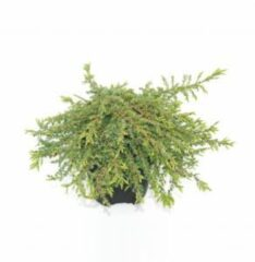 "Groene Plantenwinkel.nl Jeneverbes (Juniperus communis ""Green Carpet"") conifeer - 6 stuks"