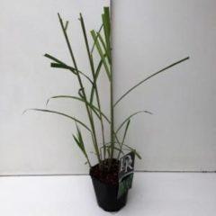 """Plantenwinkel.nl Prachtriet (Miscanthus sinensis """"Giganteus"""") siergras - 6 stuks"""