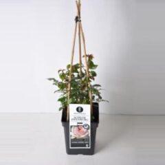"""Plantenwinkel.nl Grootbloemige klimroos (rosa """"Schloß Ippenburg""""®)"""