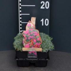 "Plantenwinkel.nl Steenanjer (dianthus gratianopolitanus ""Babi Lom"") bodembedekker - 4-pack - 1 stuks"