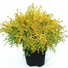 "Plantenwinkel.nl Schijncipres (Chamaecyparis obtusa ""Kamarachiba"") conifeer - 6 stuks"