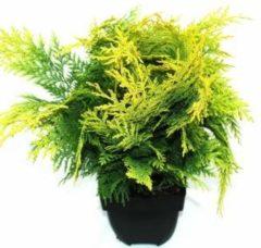 """Plantenwinkel.nl Schijncipres (Chamaecyparis lawsoniana """"Stardust"""") conifeer - 6 stuks"""