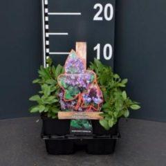 Plantenwinkel.nl Bijenkorfje (prunella grandiflora) bodembedekker - 4-pack - 1 stuks