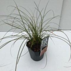 "Plantenwinkel.nl Zegge (Carex testacea ""Prairie Fire"") siergras - In 2 liter pot - 1 stuks"