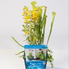 Moerings waterplanten Mix waterplanten in vijvermand - 3 stuks