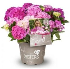 "Plantenwinkel.nl Hydrangea Macrophylla ""Three Sisters""® Pink boerenhortensia - 7 stuks"