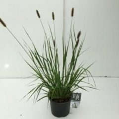"Plantenwinkel.nl Lampenpoetsersgras (Pennisetum messiacum ""Red Bunny Tails"") siergras - 7 stuks"