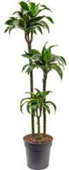 Plantenwinkel.nl Dracaena dorado M kamerplant