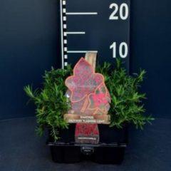 """Plantenwinkel.nl Steenanjer (dianthus deltoides """"Flashing Light"""") bodembedekker - 6-pack - 1 stuks"""