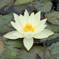 Moerings waterplanten Gele dwergwaterlelie (Nymphaea pygmaea Helvola) waterlelie - 6 stuks