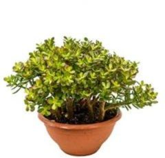 Plantenwinkel.nl Crassula ovata minor L kamerplant