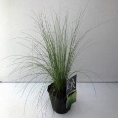 "Plantenwinkel.nl Vedergras (Stipa tenuifolia ""Ponytails"") siergras - 6 stuks"