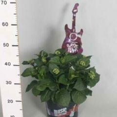 "Plantenwinkel.nl Hydrangea Macrophylla Music Collection ""Purple Punk""® boerenhortensia - 30-40 cm - 1 stuks"