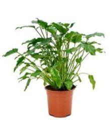 Plantenwinkel.nl Philodendron xanadu S kamerplant