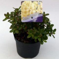 "Plantenwinkel.nl Dwerg rododendron (Rhododendron ""Wren"") heester - 15-20 cm - 8 stuks"