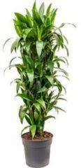 Plantenwinkel.nl Dracaena janet craig M kamerplant
