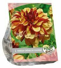 Rode Baltus Bloembollen Baltus Urban Flowers Dahlia Crème de Cognac bloembol per 1