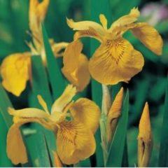 VanderVeldeWaterplanten.nl Gele Lis Iris Pseudacorus - 4 stuks + Aqua Set - Winterharde Vijverplanten - Van der Velde Waterplanten