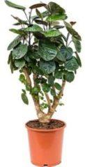 Plantenwinkel.nl Polyscias aralia fabian S kamerplant