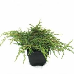 "Plantenwinkel.nl Kruipende jeneverbes (Juniperus communis ""Repanda"") conifeer - 6 stuks"
