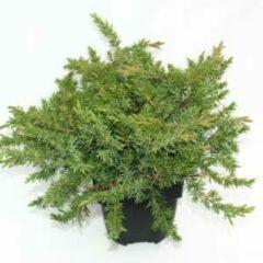 """Plantenwinkel.nl Kruipende jeneverbes (Juniperus conferta """"Schlager"""") conifeer - 6 stuks"""