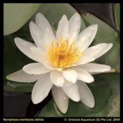 Moerings waterplanten Witte waterlelie (Nymphaea Marliacea Albida) waterlelie - 6 stuks