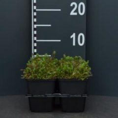 Plantenwinkel.nl Koperknoopje (leptinella squalida) bodembedekker - 4-pack - 1 stuks