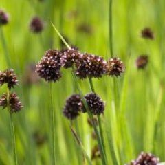 Moerings waterplanten Zwaardrus (Juncus ensifolius) moerasplant - 6 stuks