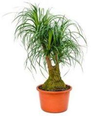 Plantenwinkel.nl Beaucarnea recurvata maz kamerplant