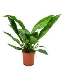 Plantenwinkel.nl Anthurium jungle king S kamerplant