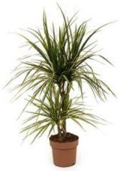 Plantenwinkel.nl Dracaena marginata sunray S kamerplant