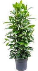 Plantenwinkel.nl Ficus cyathistipula L kamerplant