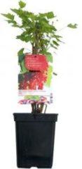 "Plantenwinkel.nl Rode bes (ribes rubrum ""Rolan"") fruitplanten - 3 stuks"