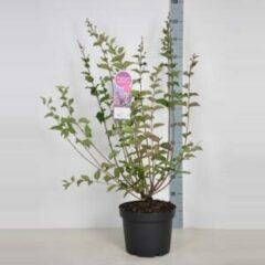 "Plantenwinkel.nl Dwergsering (syringa ""Josee"") - 70-90 cm - 1 stuks"